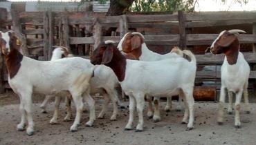 Caprino Corte Boer Cabra - e-rural Imagens