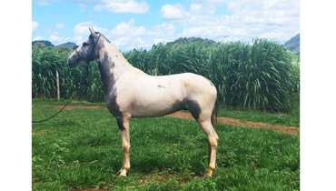 Equídeo Equino Mangalarga Marchador Comunicado Cavalo Tordilha Marcha Batida - e-rural Imagens