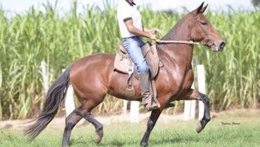 Equídeo Equino Mangalarga Marchador Registrado Égua Castanha Marcha Batida - e-rural Imagens