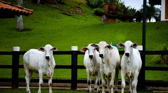Bovino Corte Nelore Bezerro 11-15@ Andrológico em dia - e-rural Imagens