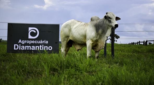 Bovino Corte Nelore Touro 20+@ Andrológico em dia - e-rural Imagens