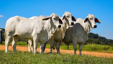 Bovino Corte Brahman Novilha 16-20@ Andrológico em dia - e-rural Imagens