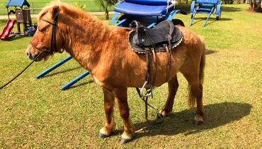 Equídeo Equino Pônei Brasileiro Não Registrado Cavalo Castanha - e-rural Imagens