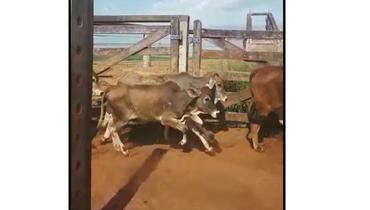 Bovino Corte Aberdeen Angus Bezerra 6-10@ - e-rural Imagens