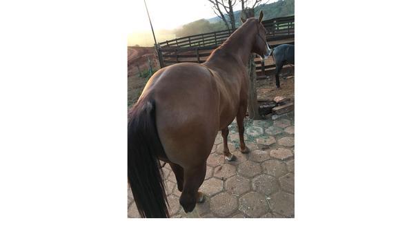 Equídeo Equino Quarto de Milha Não Registrado Cavalo Alazã - e-rural Imagens