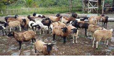 Ovino - e-rural Imagens