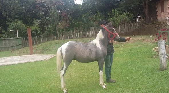 Equídeo Equino Mangalarga Não Registrado Potro Pampa Marcha Picada - e-rural Imagens