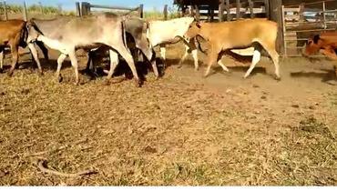 Bovino Corte Nelore Novilha 6-10@ - e-rural Imagens