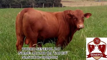 Bovino Corte Senepol Tourinho 16-20@ - e-rural Imagens