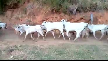 Bovino Corte Nelore Vaca 16-20@ - e-rural Imagens