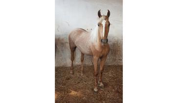 Equídeo Equino Mangalarga Marchador Não Registrado Potro Alazã - e-rural Imagens