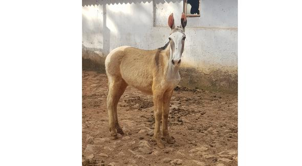 Equídeo Muare Mangalarga Marchador Não Registrado Mula Pampa Marcha Batida - e-rural Imagens
