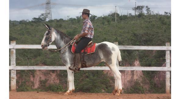 Equídeo Muare Mangalarga Não Registrado Mula Pampa Marcha de Centro - e-rural Imagens