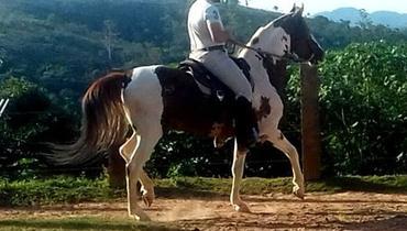 Equídeo Equino Mangalarga Registrado Garanhão Pampa Trabalho - e-rural Imagens