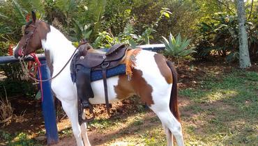 Equídeo Equino Paint Horse Não Registrado Potra Pampa Trabalho - e-rural Imagens