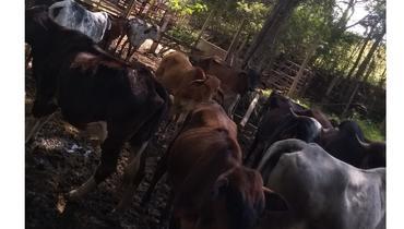 Bovino Leite Mestiço Vaca 1-5l - e-rural Imagens