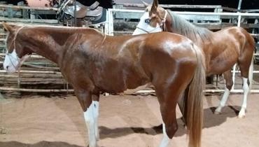 Equídeo Equino Paint Horse Registrado Potro Pampa - e-rural Imagens