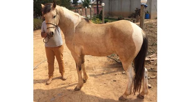 Equídeo Equino Mangalarga Não Registrado Cavalo - e-rural Imagens