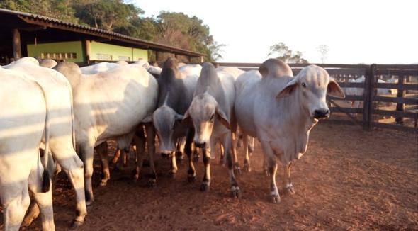 Bovino Corte Tabapuã Tourinho 16-20@ - e-rural Imagens