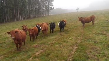 Bovino Corte Red Angus Novilha 11-15@ - e-rural Imagens