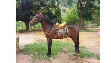 Equídeo Equino Mangalarga Marchador Registrado Garanhão - e-rural Imagens