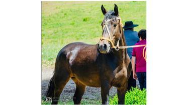 Equídeo Equino Crioulo Registrado Potra Zaina - e-rural Imagens