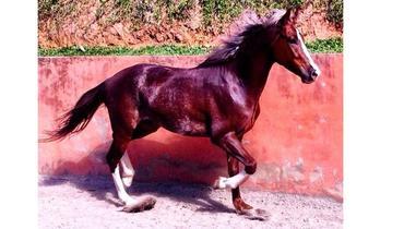 Equídeo Equino Mangalarga Comunicado Cavalo - e-rural Imagens