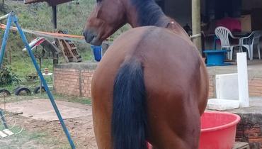 Equídeo Equino Mangalarga Marchador Não Registrado Cavalo Castanha Marcha Batida - e-rural Imagens