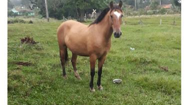 Equídeo Equino Crioulo Não Registrado Cavalo Castanha Marcha Batida - e-rural Imagens