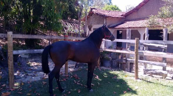Equídeo Equino Mangalarga Marchador Não Registrado Cavalo Preta Marcha Picada - e-rural Imagens