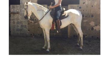 Equídeo Equino Mangalarga Marchador Comunicado Cavalo - e-rural Imagens