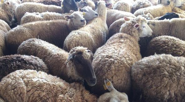 Ovino Corte Texel Ovelha 51-65kg - e-rural Imagens