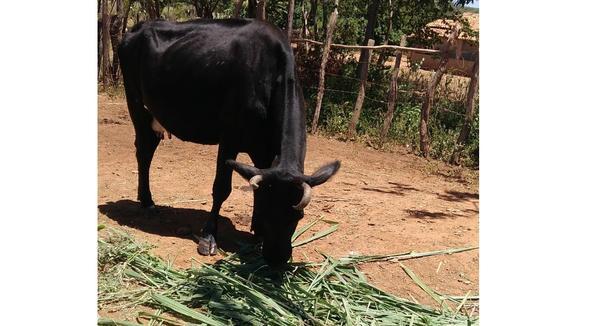 Bovino Leite Holandês Vaca 6-10l - e-rural Imagens
