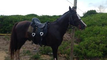 Equídeo Equino Mangalarga Marchador Registrado Cavalo Castanha Marcha Batida - e-rural Imagens