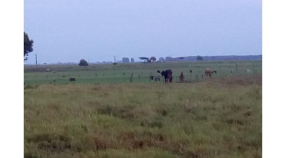 Bovino Leite Girolando Vaca 11-15l - e-rural Imagens