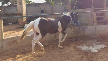 Equídeo Equino Paint Horse Registrado Potra Pampa Trabalho - e-rural Imagens