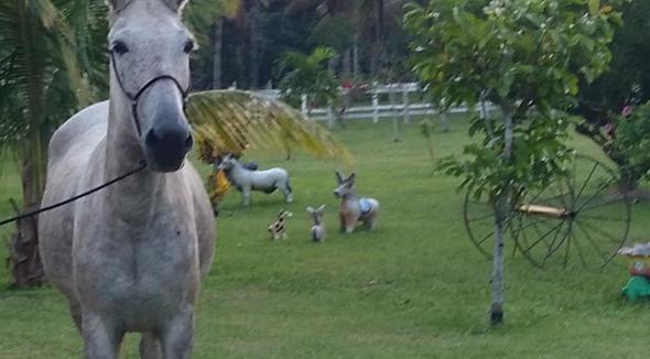 Equídeo Muare Diversos Mula Tordilha Marcha Batida Não Registrado - e-rural Imagens