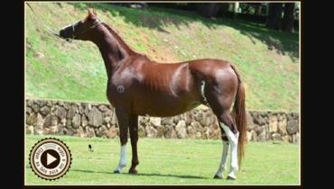 Equídeo Equino Mangalarga Registrado Égua Alazã - e-rural Imagens