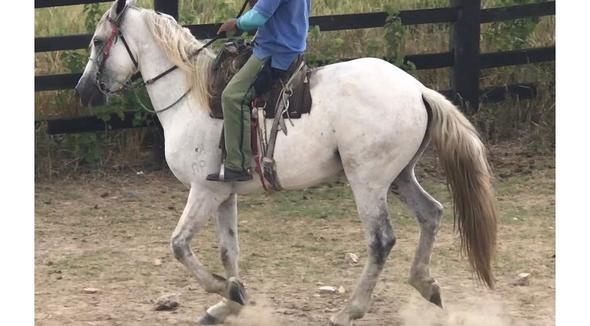 Equídeo Equino Mangalarga Registrado Cavalo Tordilha Marcha Batida - e-rural Imagens