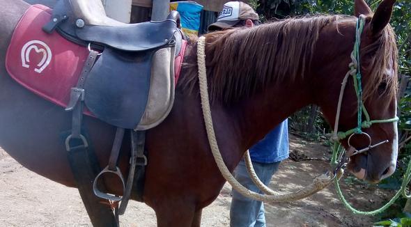 Equídeo Equino Mangalarga Marchador Não Registrado Potro Castanha Marcha Batida - e-rural Imagens