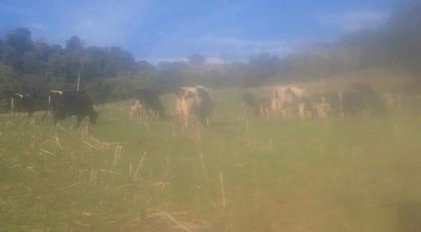 Bovino Leite Holandês Vaca 20-30l - e-rural Imagens