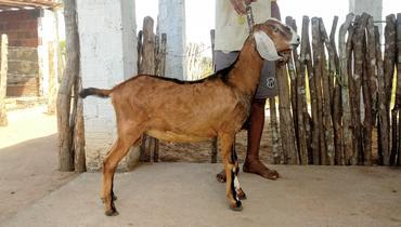 Caprino Dupla Aptidão Anglonubiana Cabrito - e-rural Imagens