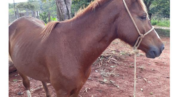Equídeo Equino Mangalarga Marchador Não Registrado Cavalo Alazã Marcha Batida - e-rural Imagens
