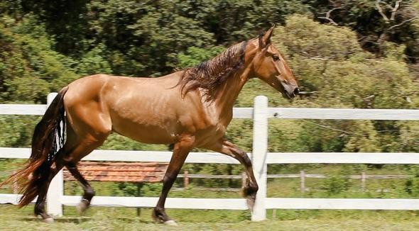 Equídeo Equino Campolina Registrado Cavalo Baia Marcha Picada - e-rural Imagens