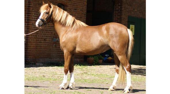 Equídeo Equino Pônei Brasileiro Não Registrado Cavalo Oveira Tração - e-rural Imagens