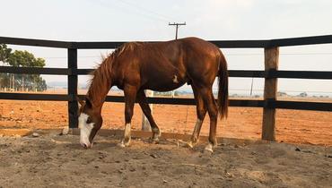 Equídeo Equino Paint Horse Registrado Potro Alazã - e-rural Imagens