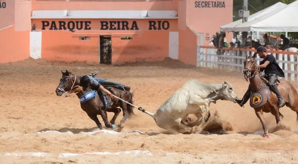 Equídeo Equino Quarto de Milha Registrado Cavalo Zaina Trabalho - e-rural Imagens