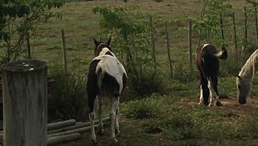 Equídeo Equino Mangalarga Marchador Registrado Garanhão Pampa Marcha Picada - e-rural Imagens