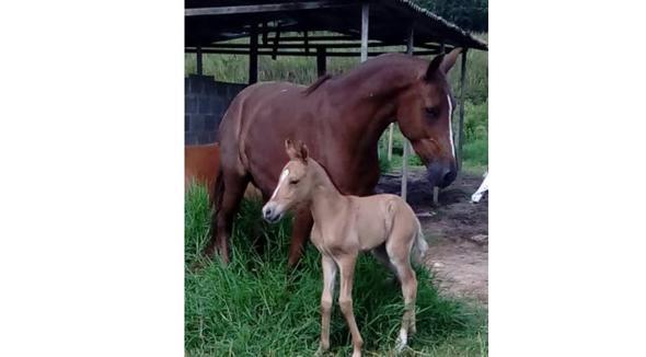 Equídeo Equino Mangalarga Marchador Registrado Égua Alazã Marcha Batida - e-rural Imagens