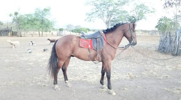 Equídeo Equino Mangalarga Marchador Não Registrado Cavalo - e-rural Imagens